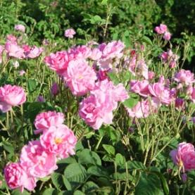 Rose Damascena (Otto) Organic Hydrosol