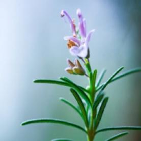 Rosemary Organic Hydrosol - France