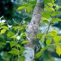 Sandalwood Wild Harvested Hydrosol - Light Aroma