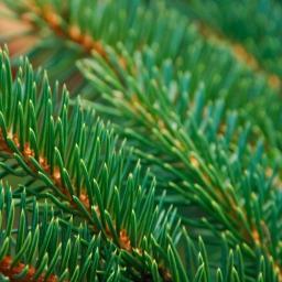Sitka  Spruce Wild Harvested Hydrosol