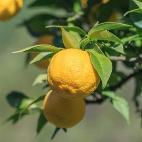 Yuzu Organic Hydrosol
