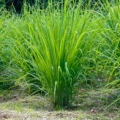 Lemongrass Essential Oil - Nepal
