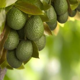 Avocado Oil (Organic)