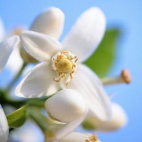 Neroli Flower Infused Jojoba