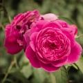 Rose Petal Infused Jojoba