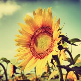 Sunflower Oil - Organic