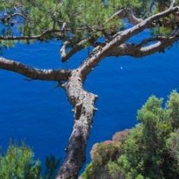 Maritime Pine Essential Oil