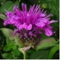 Bee Balm Organic Hydrosol