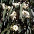Eucalyptus globulus Essential Oil - Corsica (aged)