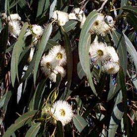 Eucalyptus globulus Essential Oil - Corsica