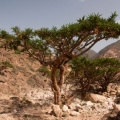 Frankincense frereana Essential Oil