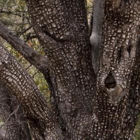 Alligator Juniper Wood Essential Oil