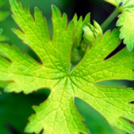 Geranium Essential Oil - Egypt