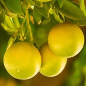Grapefruit, White Steam Distilled Essential Oil