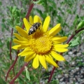 Grindelia Essential Oil - Limited Reaerve