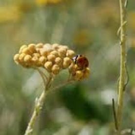 Helichrysum Gymnocephalum Essential Oil