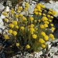 Helichrysum Italicum Essential Oil Croatia