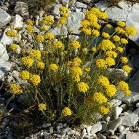 Helichrysum Italicum Essential Oil Croatia - Special Edition 2016