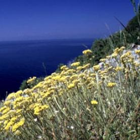 Helichrysum Italicum Essential Oil Corsica ssp ser
