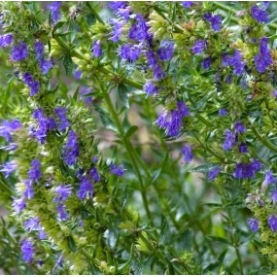Hyssop, 1,8 cineole Essential Oil