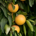 Grapefruit, Ruby Essential Oil