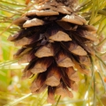 Pinon/Ponderosa Pine Cone Co-Distill Essential Oil