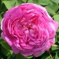 Rose Centifolia Organic Hydrosol