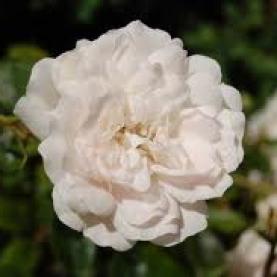 Rose Alba Organic Hydrosol