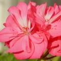 Rose Geranium Organic Hydrosol