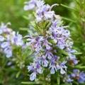Rosemary Organic Hydrosol