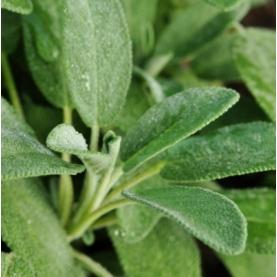 Sage, True Organic Hydrosol
