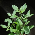 Holy Basil (Tulsi) Essential Oil