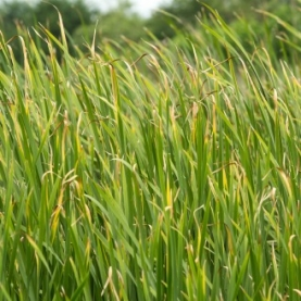 Vetiver Essential Oil - Haiti