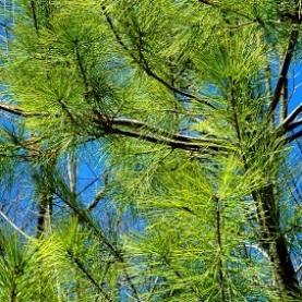 White Pine Essential Oil - Cleaning