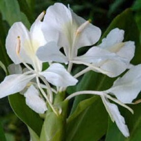 White Ginger Lily Absolute