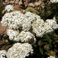 Yarrow Essential Oil - USA