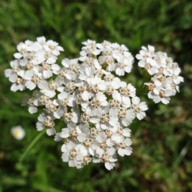 Yarrow Essential Oil - Albania