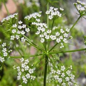Ajowan (Bishop's Weed) Essential Oil