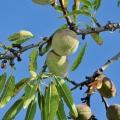 Almond, Sweet Oil - Organic