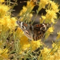 Rabbitbrush Essential Oil