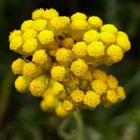 Helichrysum Italicum Essential Oil France