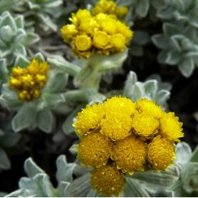 Helichrysum splendidum Essential Oil