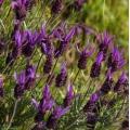Lavender Stoechas Essential Oil