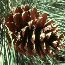Ponderosa Pine Cone Essential Oil