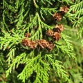 Cedarwood, Port Orford Essential Oil