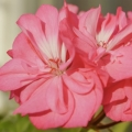 Rose / Geranium Co-distill Essential Oil