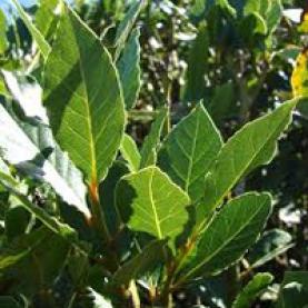 Laurel Leaf (Bay) Organic Hydrosol - France