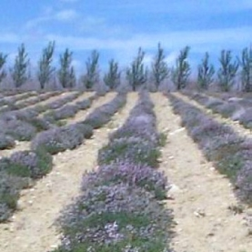 Thyme, Benchmark Essential Oil