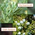 Juniper, Utah /Sage Brush Essential Oil