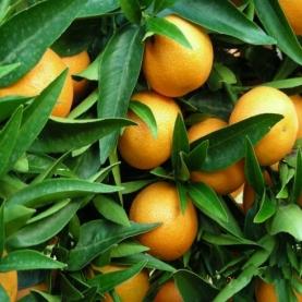 Clementine Petitgrain Essential Oil - Corsica